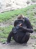 Gorillafütterung (Hannover)