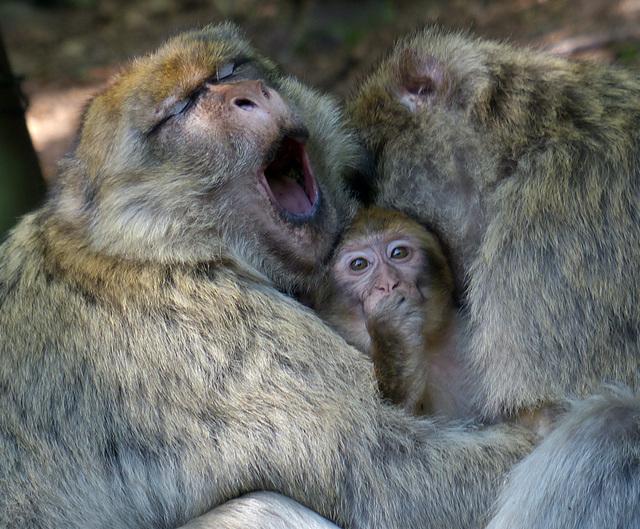 le macaque berbère : le magot