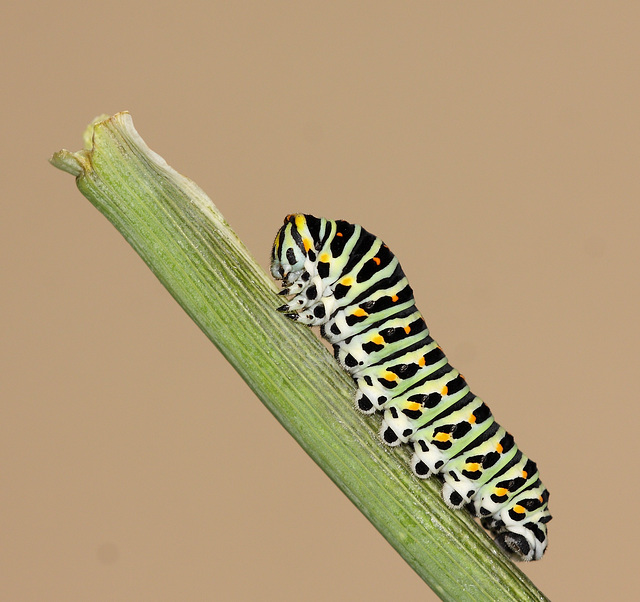 European Swallowtail (Papilio machaon gorganus) caterpillar