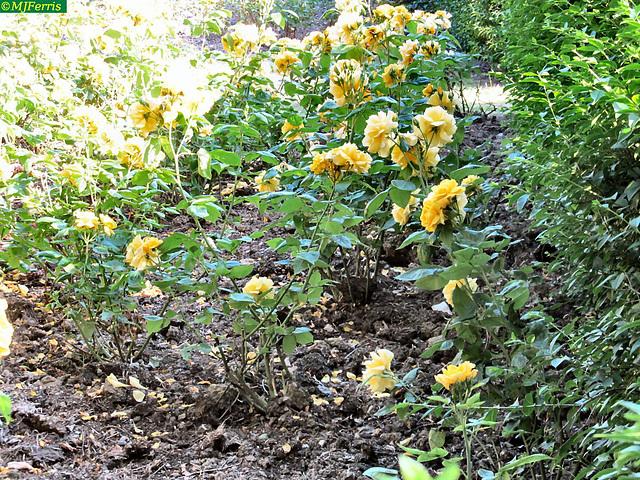 02 roses in Walney park