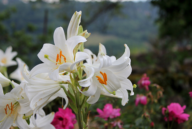 Lis blanc- Lilium candidum (3)