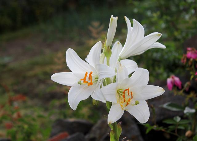 Lis blanc- Lilium candidum