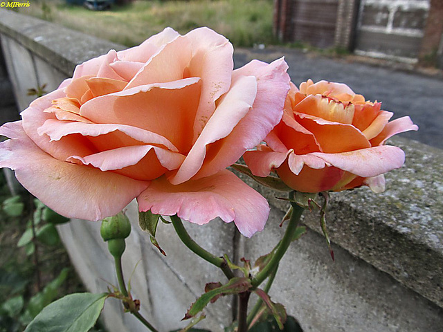 41 Margaret's rose