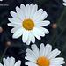 Daisy Array  004 copy Explore