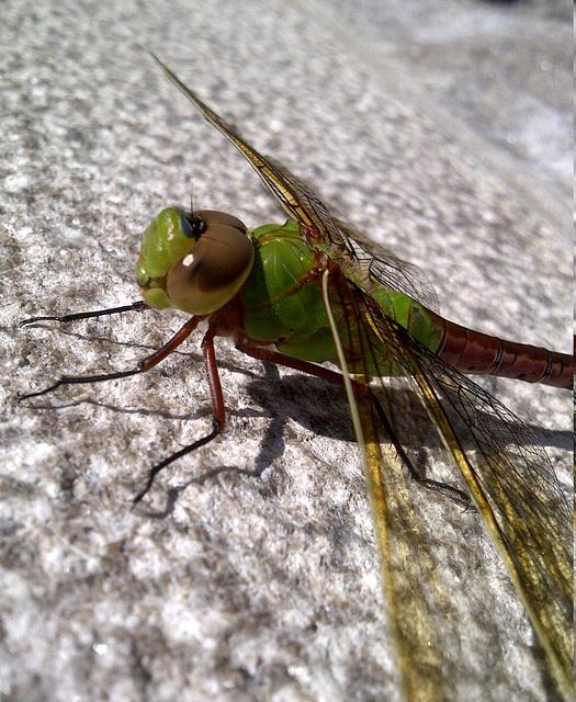 dragonfly-IMG-20130619-00011