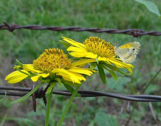 Dainty Sulphur butterfly on Sunflowers