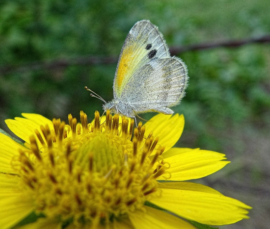 Dainty Sulphur butterfly on Sunflowers