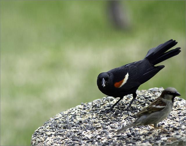 Mr. Blackbird and Friend