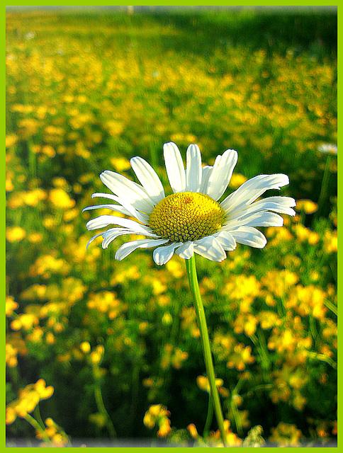 La marguerite...jolie fleur des champs!