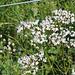 Valeriana officinalis (2)
