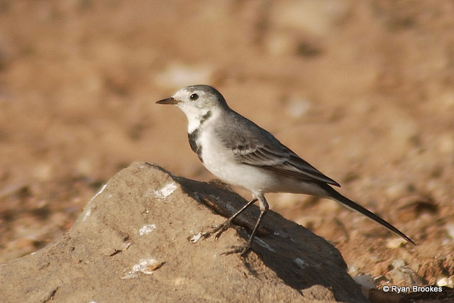 20081015-0921 White wagtail