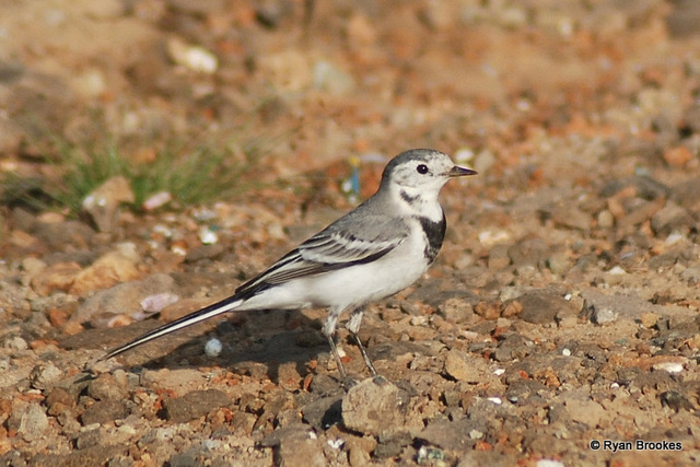 20081015-0893 White wagtail