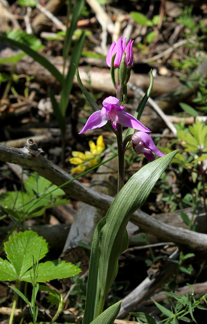 Cephalanthera rubra (2)