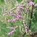 20081119-0022 Tamarix ericoides Rottler & Willd.