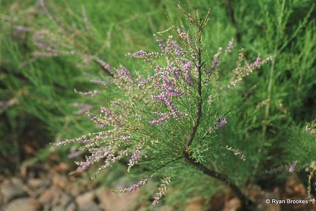 20081119-0027 Tamarix ericoides Rottler & Willd.