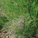 20081119-0028 Tamarix ericoides Rottler & Willd.