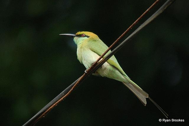 20081017-0007 Little green bee-eater
