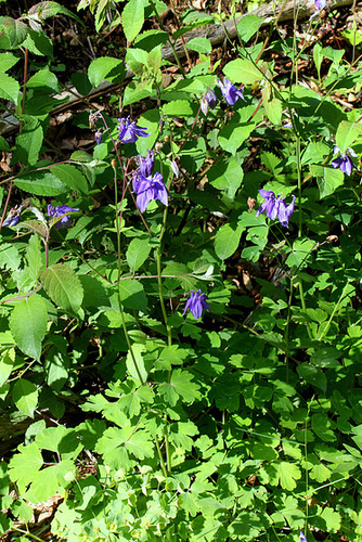 Aquilegia vulgaris - Ancolie commune