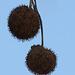 Früchte der großen Platane (Wilhelma)