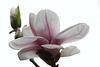 Magnolienblüte (Wilhelma)