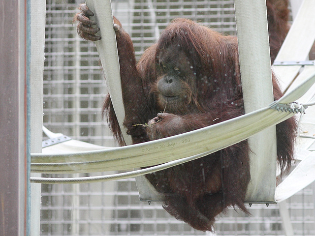 Orang im Außengehege (Wilhelma)