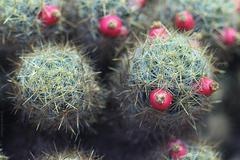 Kaktus (Wilhelma)