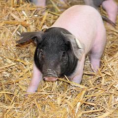 Kampschwein? (Wilhelma)