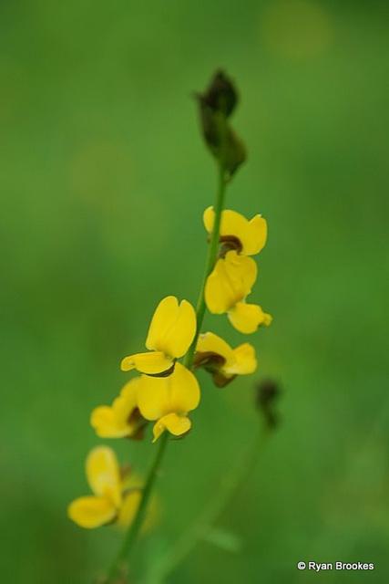 20080903-0321 Crotalaria sp.