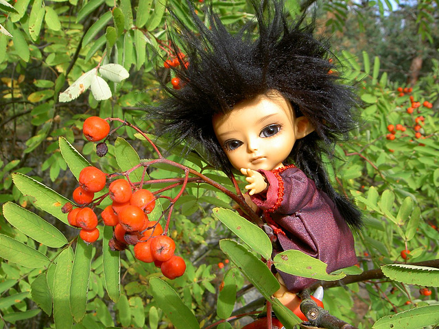 Thuban picking mountain ash berries