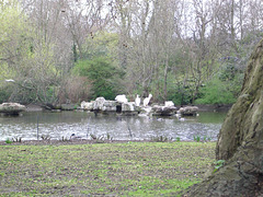 St. James's Park: pelikans