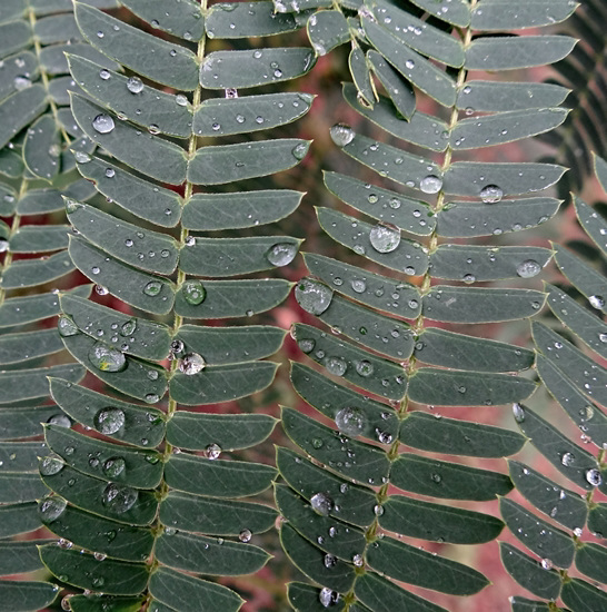 Raindrops on Acacia leaves
