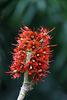 Natal-Flaschenbaum (Wilhelma)
