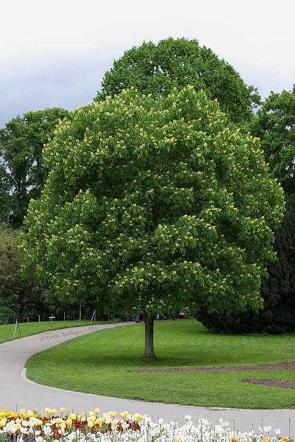 Blühender Baum (Wilhelma)