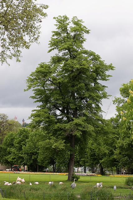 Baum am Flamingoteich (Wilhelma)