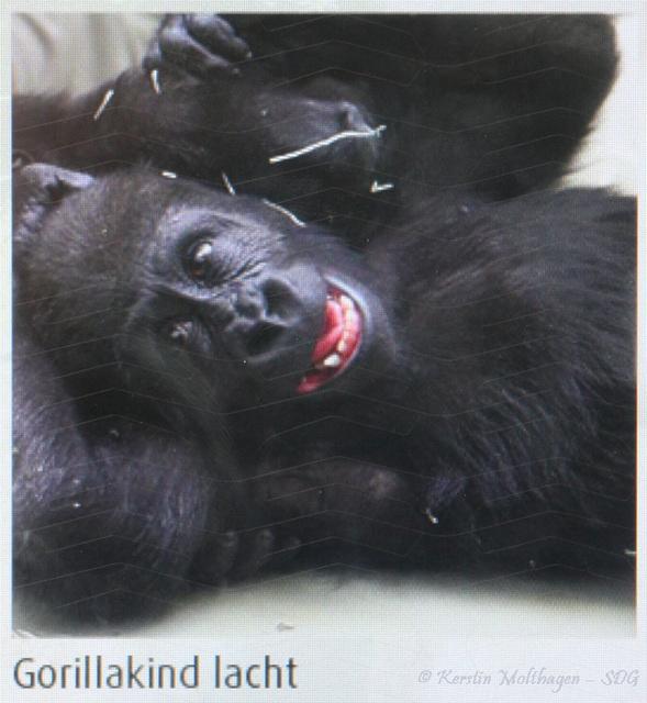 Interaktive Station: lachendes Gorillakind (Wilhelma)