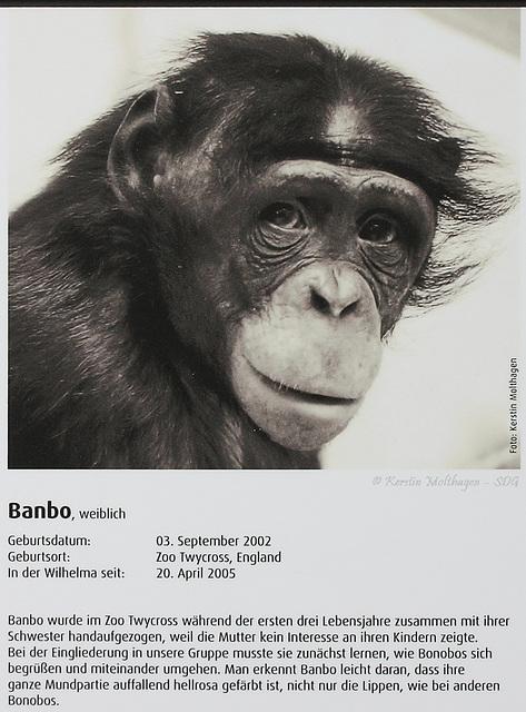 Bonobo-Steckbrief: Banbo (Wilhelma)