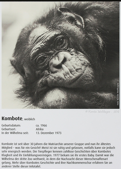 Bonobo-Steckbrief: Kombote (Wilhelma)