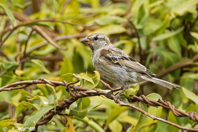 Gorrion moruno-Passer hispaniolensis. Juvenil