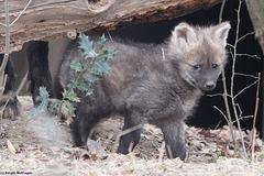Junger Mähnenwolf (Wilhelma)