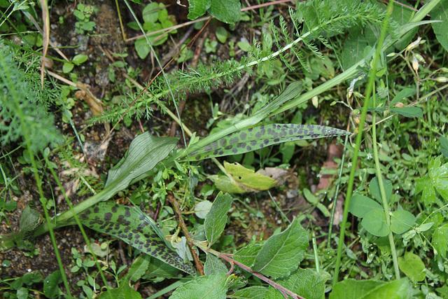 Dactylorhiza maculata - Orchis tâcheté