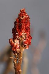 Blühender Strauch (Wilhelma)