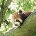 Red Panda - 6 July 2013