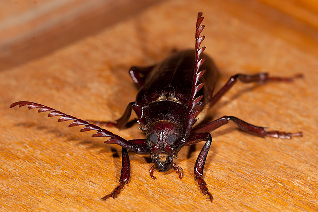 The Enormous Prionus Root Borer Beetle!