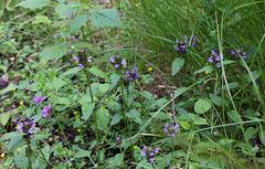 Prunella vulgaris, forme claire bicolore