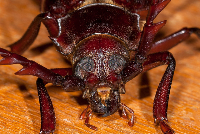Prionus Root Borer Beetle Portrait