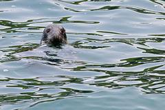 Atlantic Grey Seal.