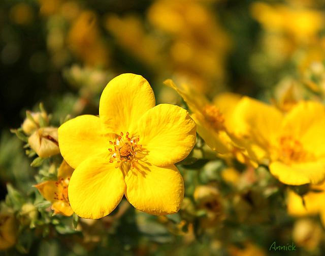 Oh ! la belle jaune