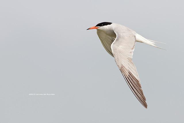 Common Tern / Visdief / Sterne pierregarin (Sterna hirundo)