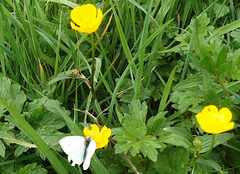 White Butterfly on Buttercup