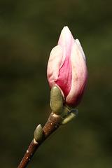 Magnolienknospe (Wilhelma)